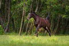 Black horse run Stock Photography
