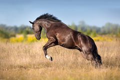 Black horse run gallop. In autumn meadow royalty free stock photo