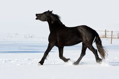 Black horse run gallop in winter Stock Photos
