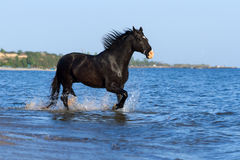 Black horse run in sea Stock Image