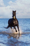Black horse run in sea Royalty Free Stock Photography