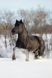 Black horse run in wintertime Stock Photos