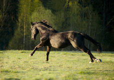 Black horse running away from the forest to the sun Royalty Free Stock Image