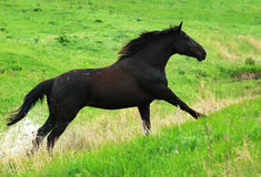Black horse running gallop on pasture Stock Photos