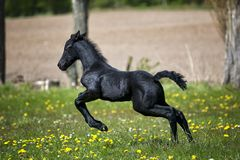 Black Horse Running on Grass Field With Flowers stock photo