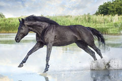 Black horse running. On the river royalty free stock photography