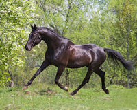 Black horse running at a trot Stock Images