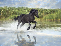 Black horse. Running on the water stock image