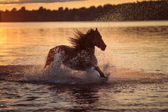 Black horse running in water at sunset Royalty Free Stock Images