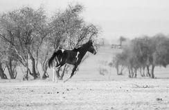 A Black Horse Running Royalty Free Stock Photos
