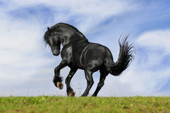 Black horse runs. Black horse play on the meadow Stock Photo