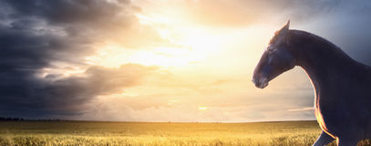 Black horse runs on field at sunset, banner. For website Stock Images