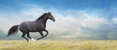 Black horse runs full gallop on field Royalty Free Stock Photography