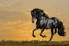 Black horse runs gallop. In sunset Stock Images