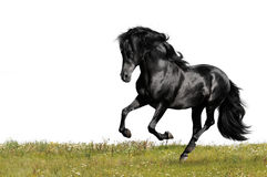 Black horse runs gallop. Isolated on white and grass Royalty Free Stock Photos