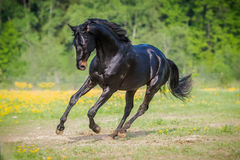 Black horse runs gallop on the meadow in summer Royalty Free Stock Photography