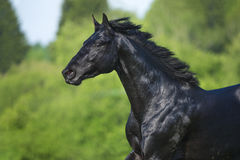 Black horse runs gallop in summer, portrait in motion Royalty Free Stock Photography