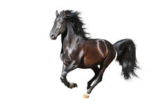 Black horse runs gallop on the white background Stock Photos