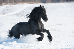 Black horse runs gallop in winter Stock Image
