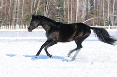 Black horse runs gallop in winter time. Black horse runs gallop in winter Stock Photography