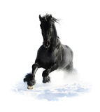 Black horse runs gallop in winter on the white royalty free stock images