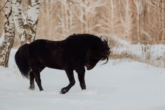 Black horse runs gallop in winter on the white snow in forest royalty free stock photography