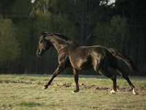 Black horse runs in sunrise field Royalty Free Stock Image