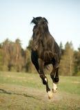 Black horse runs in sunrise field Stock Photography