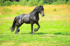 Black horse runs trot on the meadow Royalty Free Stock Image