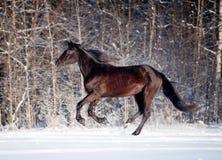Black horse runs in winter stock photos