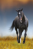 The black horse runs Stock Images