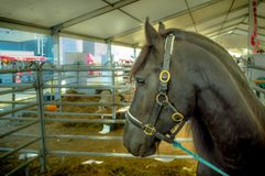 Black horse with sad eyes. A verry sad tide horse in a barn waiting to go outside royalty free stock image