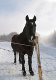 Black horse in the snow Stock Images