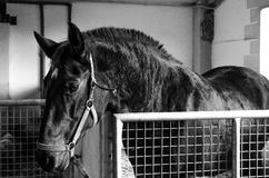 The black horse. A horse in the stable Royalty Free Stock Images