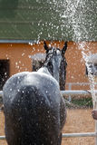 Black horse. On a stable wash with a strong stream of water Stock Images