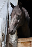 Black horse in stall