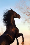 Black horse stallion rearing up. Black  horse rearing up against sunset sky Royalty Free Stock Photography