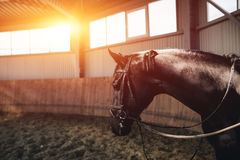 Black horse standing in the dark manege Stock Photography