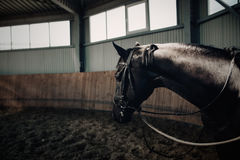 Black horse standing in the dark manege Royalty Free Stock Image