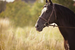 Black horse standing in a field Stock Images