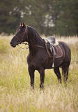Black horse standing in a field Stock Photos