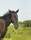 Black horse standing in a green field under a blue sky Stock Photos