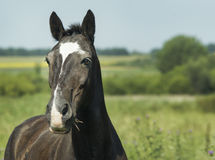 Black horse  standing in a green field under a blue sky. Black horse with dark mane standing in a green field under a blue sky Stock Photos