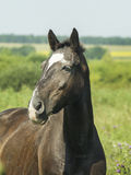 Black horse standing in a green field under a blue sky. Black horse with dark mane standing in a green field under a blue sky Stock Images