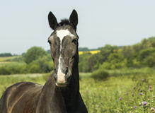 Black horse standing in a green field under a blue sky. Black horse with dark mane standing in a green field under a blue sky Royalty Free Stock Photography