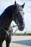 Black horse standing on hippodrome Royalty Free Stock Photography