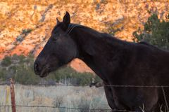 A black horse standing by a barbed wire fence. A black horse stands by a barbed wire fence with the cliffs behind him glowing in late evening light Stock Image