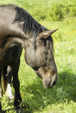 Black horse stands on the field on the green grass Royalty Free Stock Photography