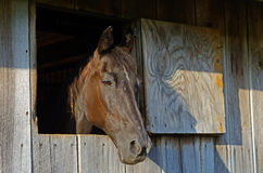 Black horse stares out of his barn window. Stock Photo
