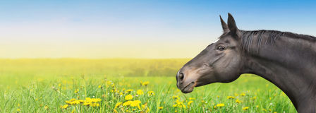 Black Horse on summer background with dandelion Stock Images
